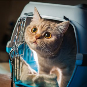 Cat carriers and how to choose the correct size